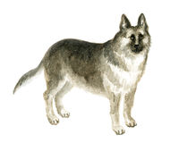 The German shepherd. Image of a thoroughbred dog. Watercolor painting Royalty Free Stock Photography
