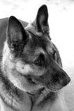 German Shepherd In B&W Stock Images