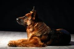 German shepherd Irize Bona Mente. Long coat German shepherd Irize. In the photo studio Stock Images