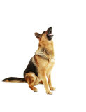 German shepherd. Isolated on a white background royalty free stock photos