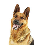 German shepherd. Isolated on a white background stock photography