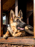 German shepherd in its kennel Stock Photos