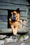 German shepherd in its kennel Royalty Free Stock Image