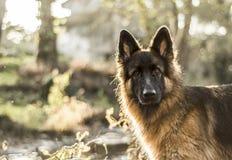 German Shepherd. And its smart look Stock Images