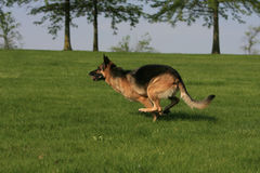 German shepherd running Royalty Free Stock Image