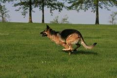 German shepherd running Royalty Free Stock Image