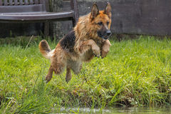German shepherd jump Stock Image