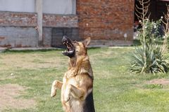 German shepherd jumped to catch food. The boss threw food on his dog and the dog jumped to catch it Stock Images