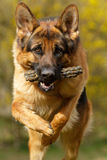 German Shepherd jumping. German Shepherd running and playing Royalty Free Stock Photography
