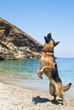 German Shepherd jumping Royalty Free Stock Images
