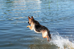 German shepherd jumping Stock Photos