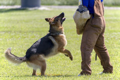 German Shepherd In K-9 Police Training Stock Photo