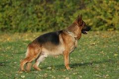 German Shepherd l stock photos