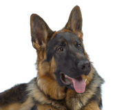 German shepherd laying Stock Photos