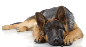 German shepherd laying Stock Image