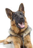 German shepherd laying Royalty Free Stock Photo