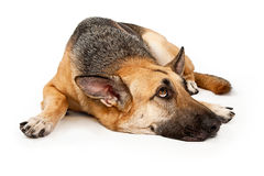 German Shepherd laying down Stock Images