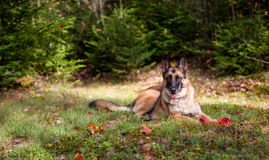 German Shepherd laying down in the grass Royalty Free Stock Images