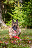 German Shepherd laying down in the grass Royalty Free Stock Image