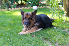 German shepherd laying in a gardem Stock Image