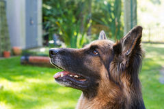 German shepherd laying in a gardem Royalty Free Stock Photos