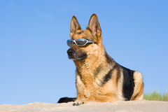 German shepherd laying in sun glasses Stock Photo