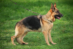 German shepherd on a leash Royalty Free Stock Images
