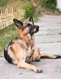 German shepherd lies, dog Stock Photos