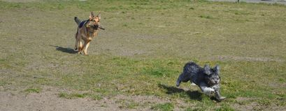 German shepherd and a little dog running Royalty Free Stock Photo
