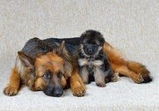 German Shepherd  ! Stock Images