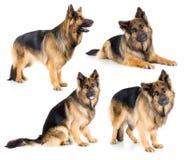 German Shepherd Long-haired Dog Set Isolated Royalty Free Stock Images
