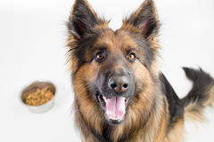 German Shepherd Long-haired Dog Sitting Near Cup With Feed Stock Photo
