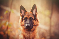 German Shepherd. Long haired German Shepherd sitting in a fall wooded area with intense stare royalty free stock photo