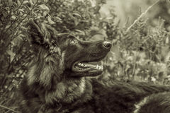 German shepherd looking up Royalty Free Stock Photo