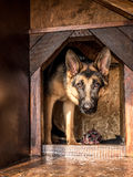 German shepherd lurking from its kennel. German shepherd lurking from its wooden kennel Royalty Free Stock Photography