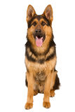 German Shepherd. Lying in front, isolated on white background, studio shot Stock Images