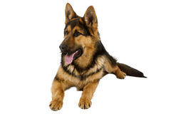 German Shepherd. Lying in front, isolated on white background, studio shot Stock Photos