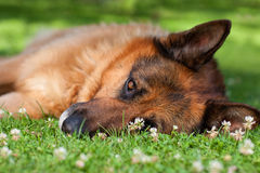 German shepherd lying on grass Stock Images