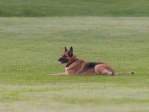German Shepherd lying on the lawn. An adult German Shepherd is lying on the green grass lawn Stock Image