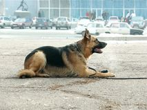 German shepherd lying on the pavement. Portrait of a German Shepherd lying in profile against the background of roads and buildings Royalty Free Stock Photo
