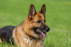 German Shepherd lying Stock Photos