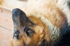 German shepherd lying on a wooden porch.  royalty free stock photo