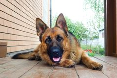 German shepherd lying on a wooden porch.  royalty free stock images