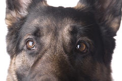 German shepherd macro Royalty Free Stock Images