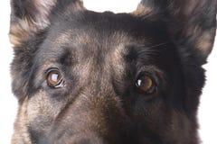 German shepherd macro Royalty Free Stock Images