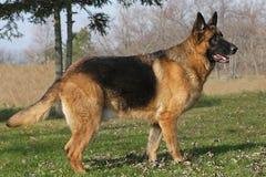 German Shepherd Male royalty free stock photos