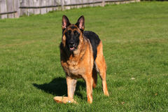 German Shepherd Male Royalty Free Stock Images