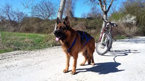 German Shepherd Male draft dog Bikejöring. His job is to pull me on my mountain bike through forests and fields Stock Photo