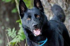 German Shepherd Malinois. Black German Shepherd Malinois animal shelter adoption photo stock photos