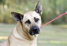 German Shepherd Mastiff mixed breed dog Stock Image